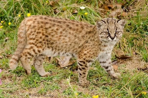 Чилийская кошка, или кодкод (лат. Leopardus guigna)