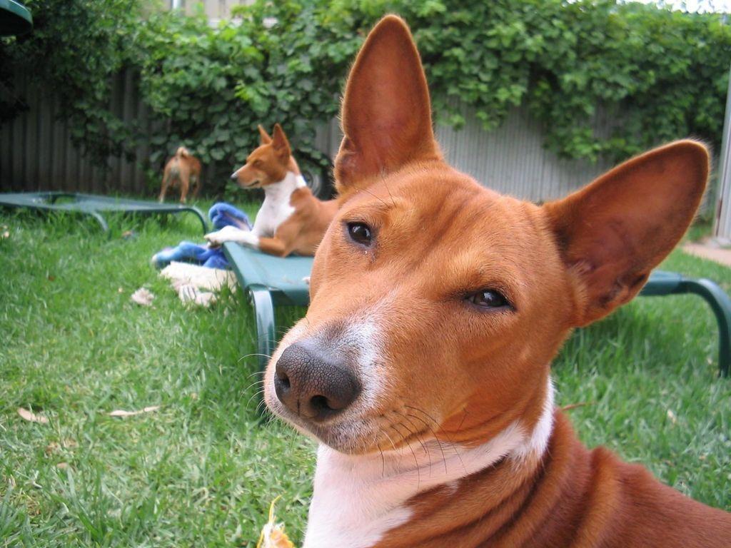 Басенджи, или африканская нелающая собака