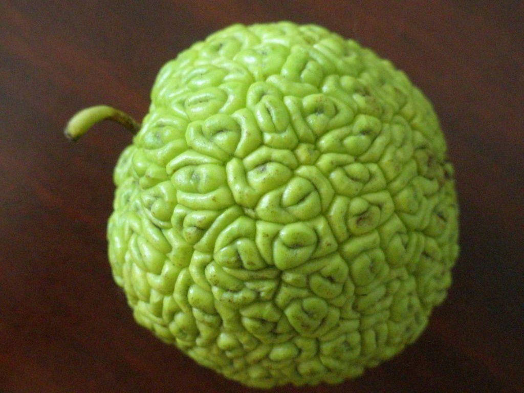 Лечебные свойства и противопоказания адамова яблока (маклюры)