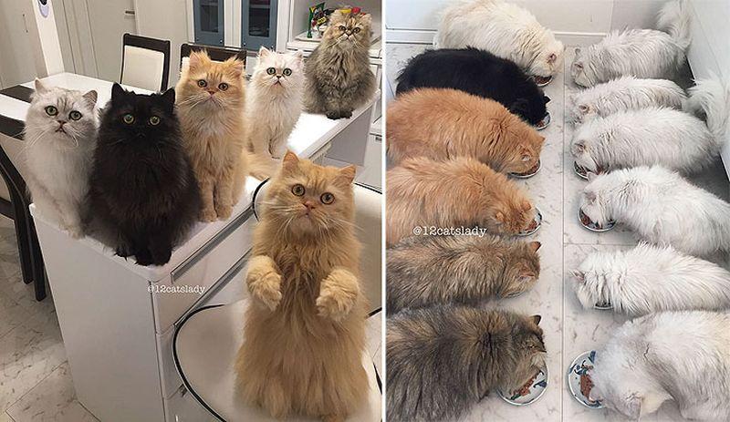 Каково это — жить с 12-ю персидскими котами