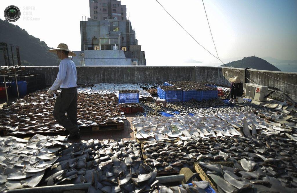 Картинки по запросу поймав акулу, рыбаки просто отрезают плавники, а саму рыбу оставляют в океане умирать мучительной смертью