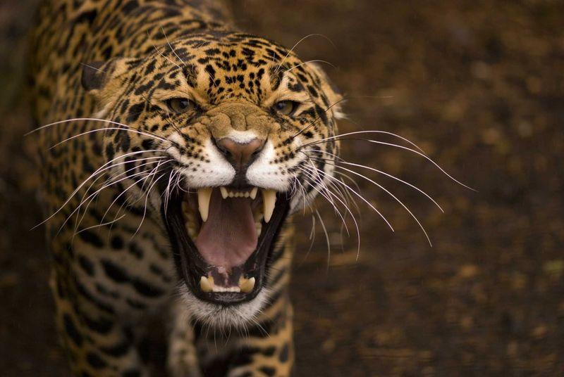 нападение ягуаров на людей