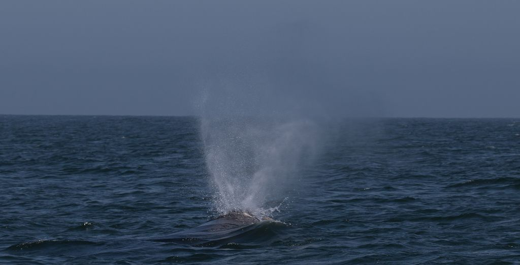 Южный гладкий кит (лат. Eubalaena australis)