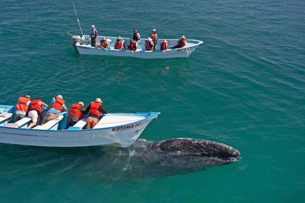 Восхитительные моменты фотосессии с серыми китами
