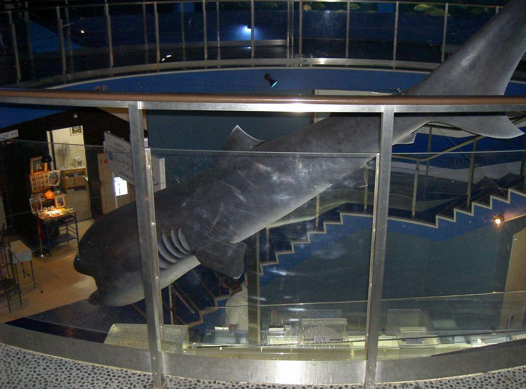 Пелагическая большеротая акула (лат. Megachasma pelagios)