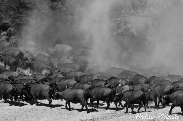 Африканский, или черный буйвол (лат. Syncerus caffer)