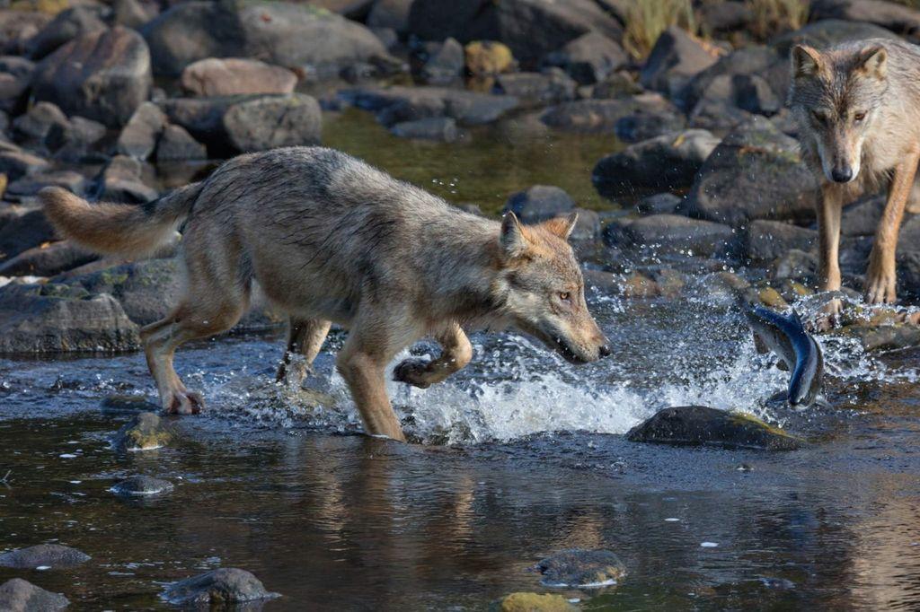 Прибрежные волки