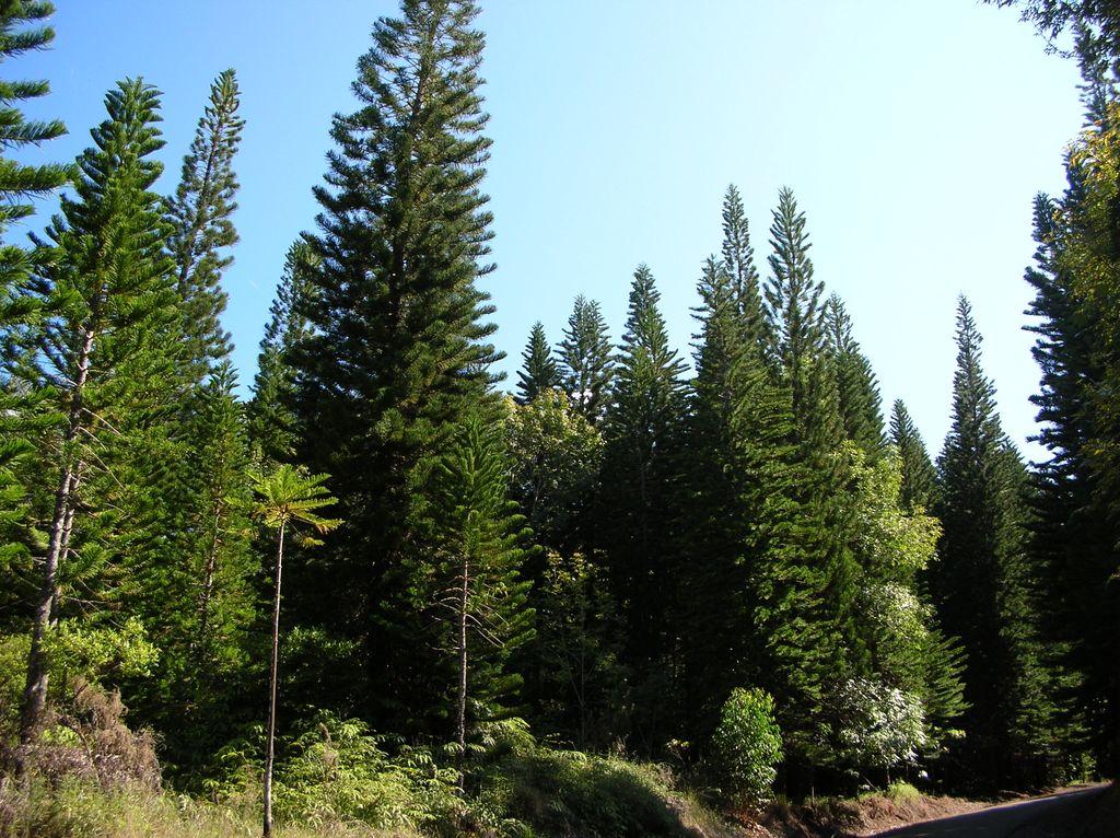 Сосны Кука (лат. Araucaria columnaris)