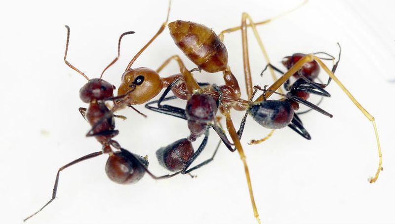 Обнаружен новый вид взрывающихся при опасности муравьёв