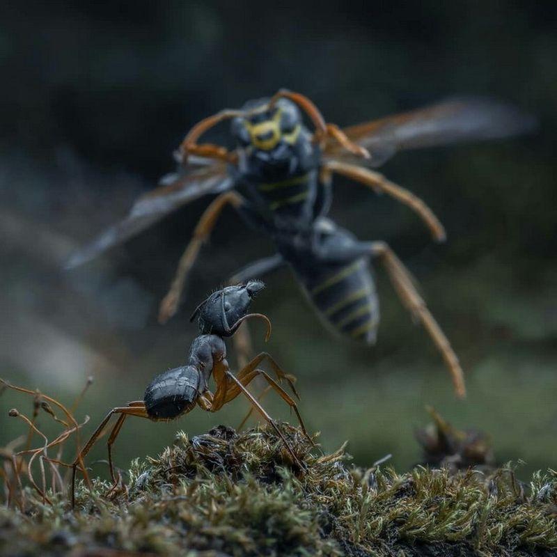 Как муравьи атакуют гнездо ос