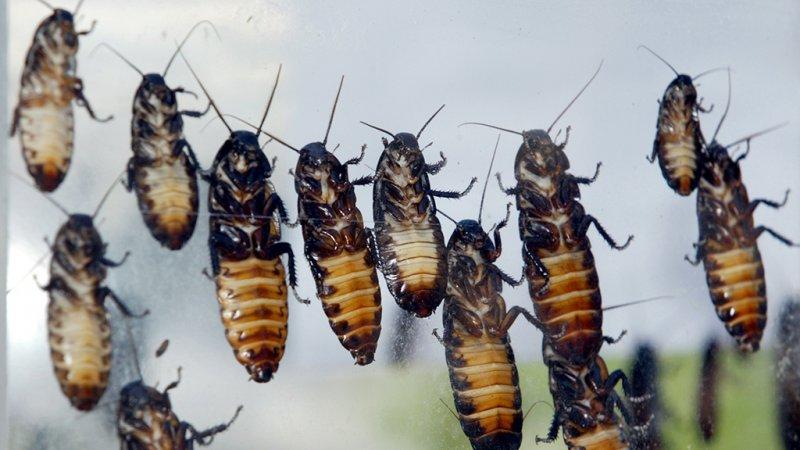 Китай выращивает 6 миллиардов тараканов в год