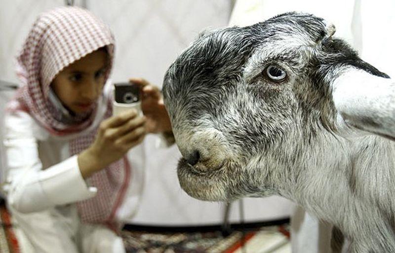 Дамасская коза - самая дорогая и красивая коза в мире