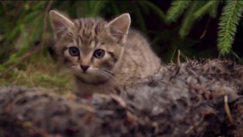 Редчайших в мире котят нашли в шотландских горах
