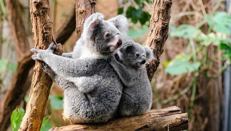 """Секреты выживания коал """"спрятаны"""" в их генах"""