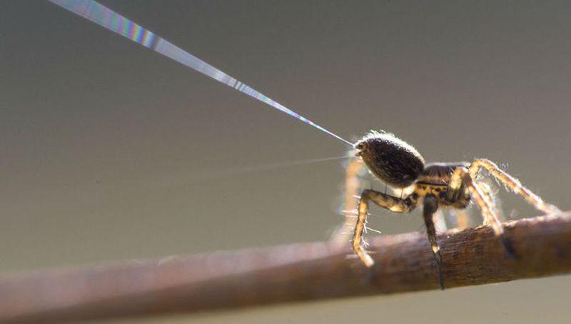 Пауки чувствуют электрические поля и летают с их помощью