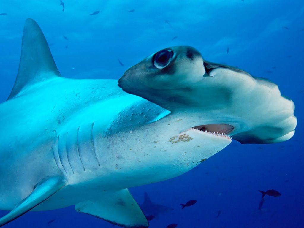 Зачем акуле-молот такая форма головы
