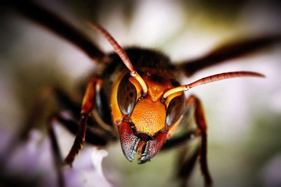 Пчелы против японского шершня