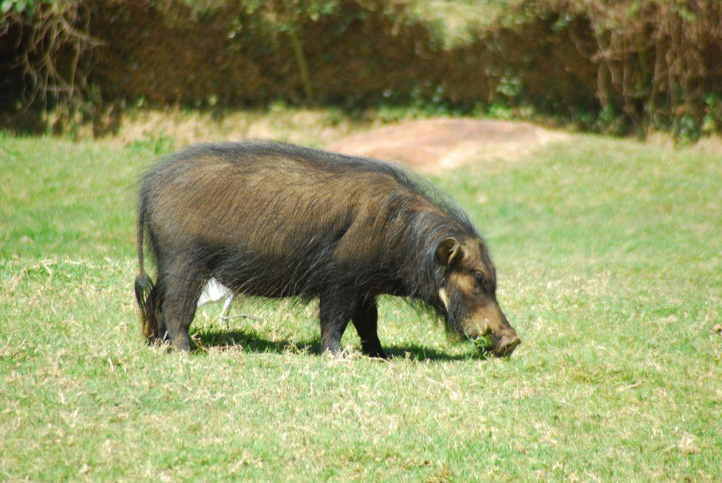 Большие лесные свиньи.