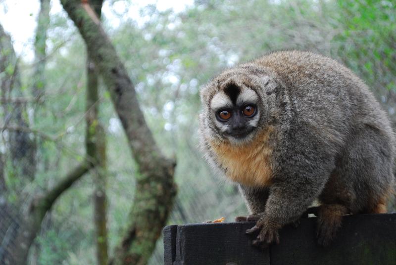 У древних приматов нашли когти для груминга