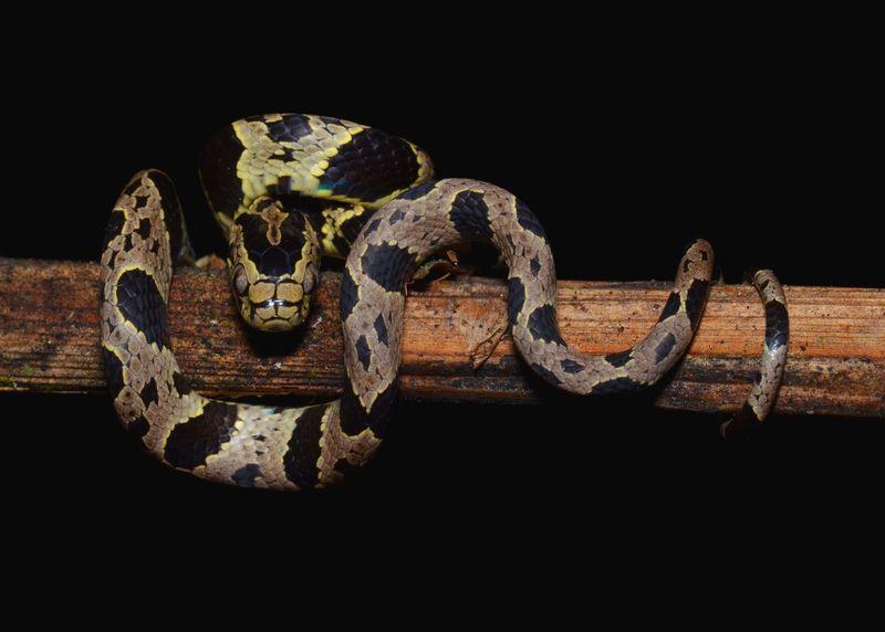 Обнаружено пять новых видов змей, питающихся улитками