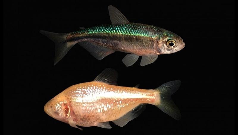 Генетики рассказали, как слепые пещерные рыбы утратили глаза