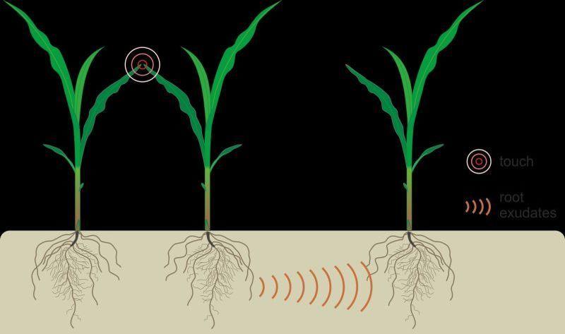 У растений нашли систему коммуникаций через корни
