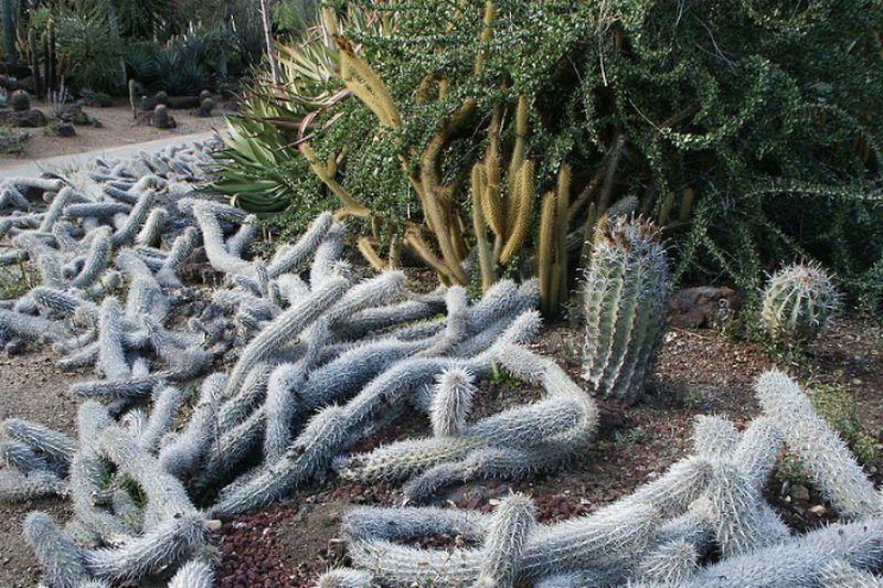 Растение, которое должено сначала умереть, чтобы продолжать жить. Энциклопедия. Материал для реферата