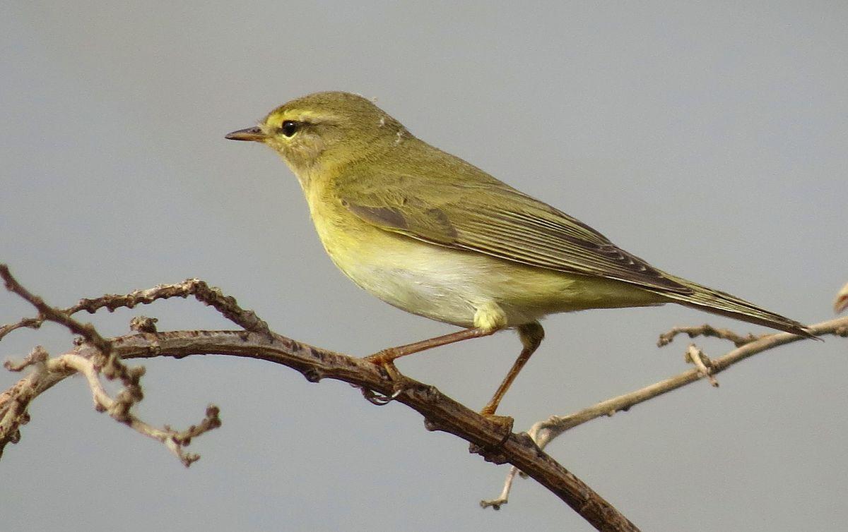 Пеночка-весничка (лат. Phylloscopus trochilus)