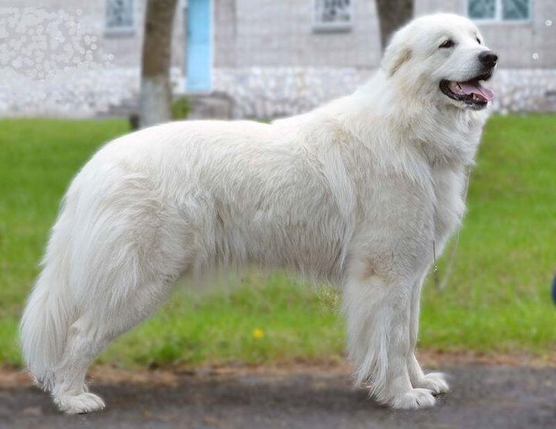 Пиренейская горная собака, или большой пиреней (фр. Chien de montagne des Pyrenees)