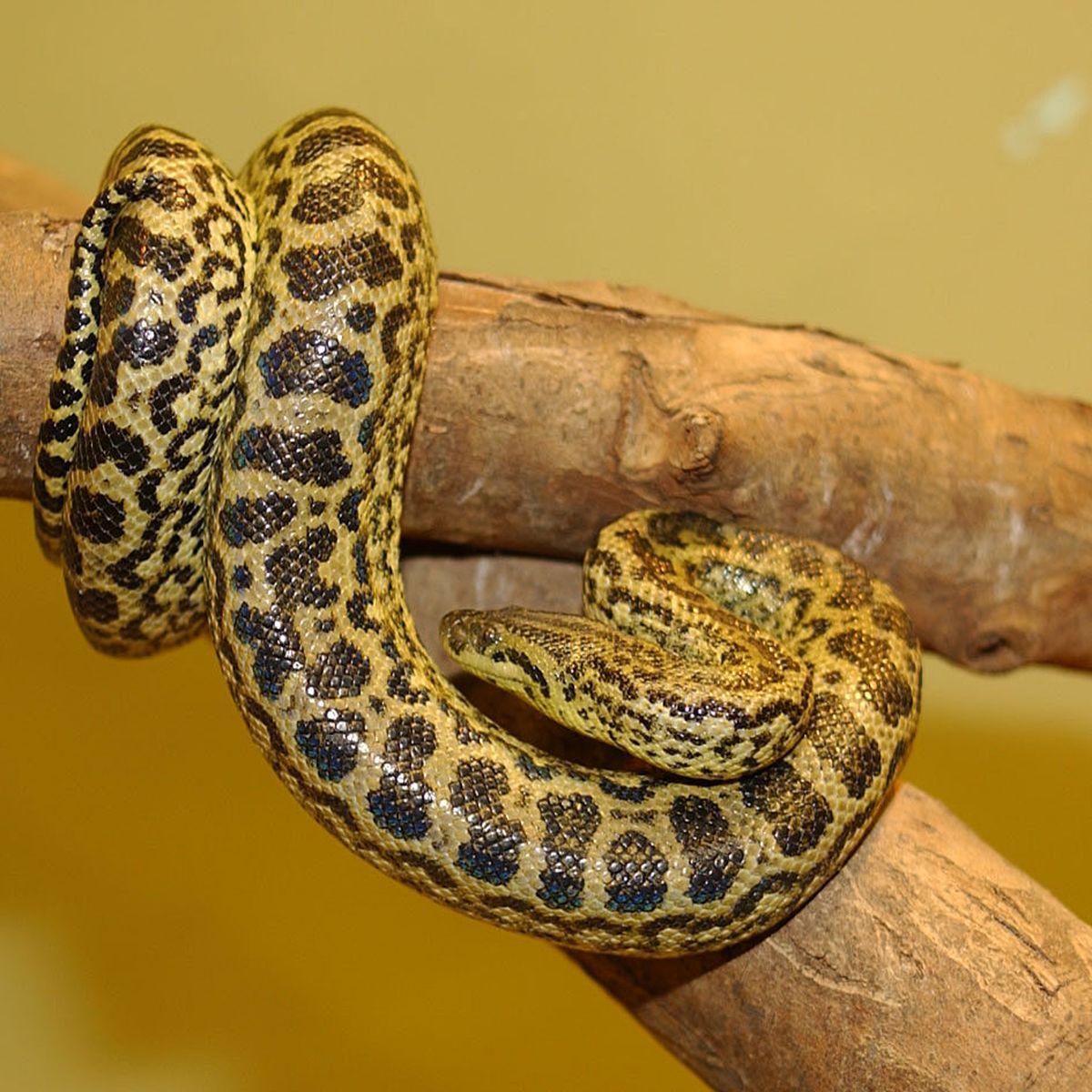 Анаконда, или гигантская анаконда, или обыкновенная анаконда, или зелёная анаконда (лат. Eunectes murinus)