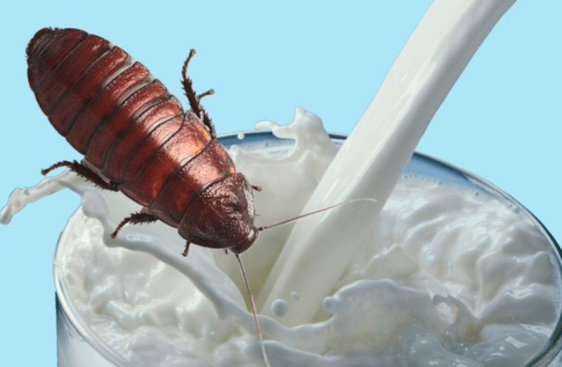 Тараканье молоко — еда будущего Природа,Тараканы