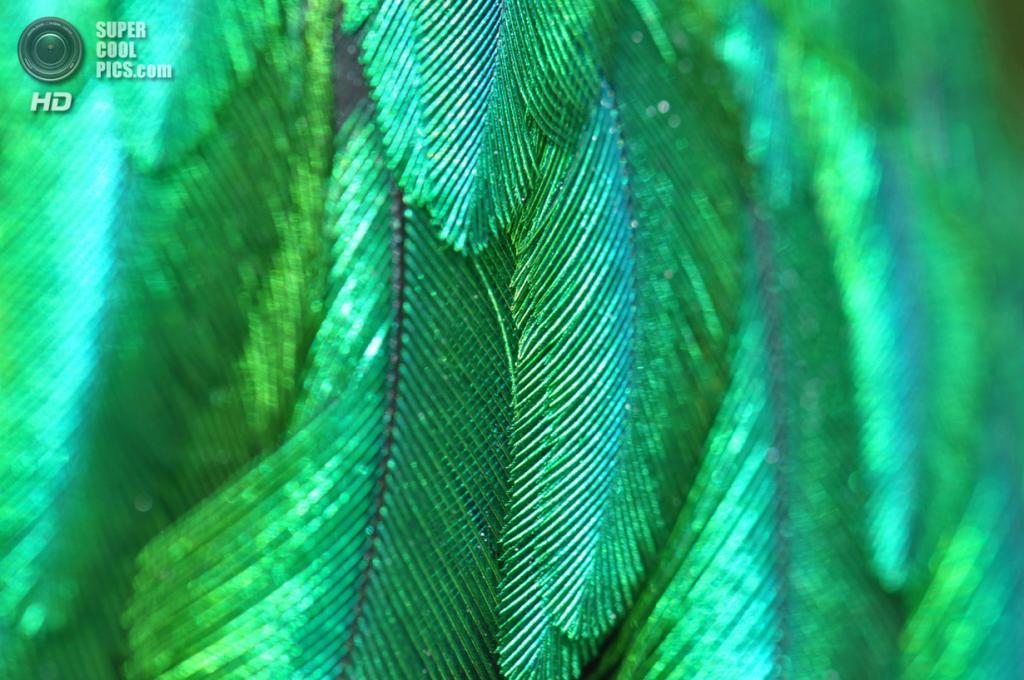 Квезаль, или квезал, или кетсаль (лат. Pharomachrus mocinno)