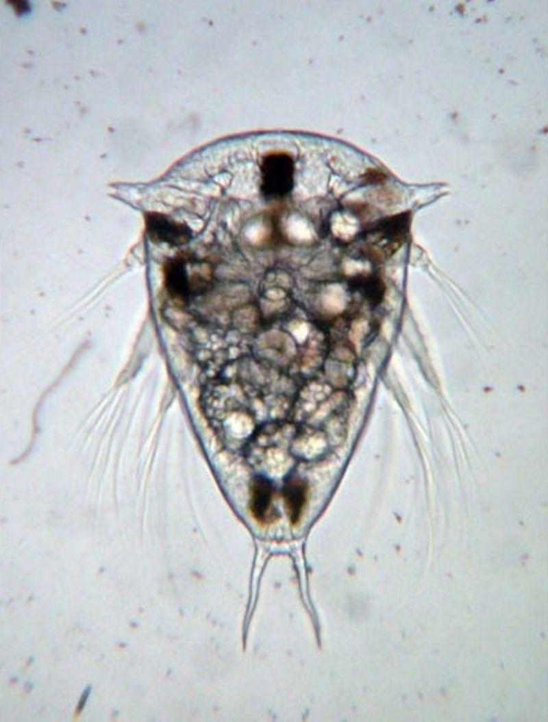 Саккулина карчини (лат. Sacculina carcini)