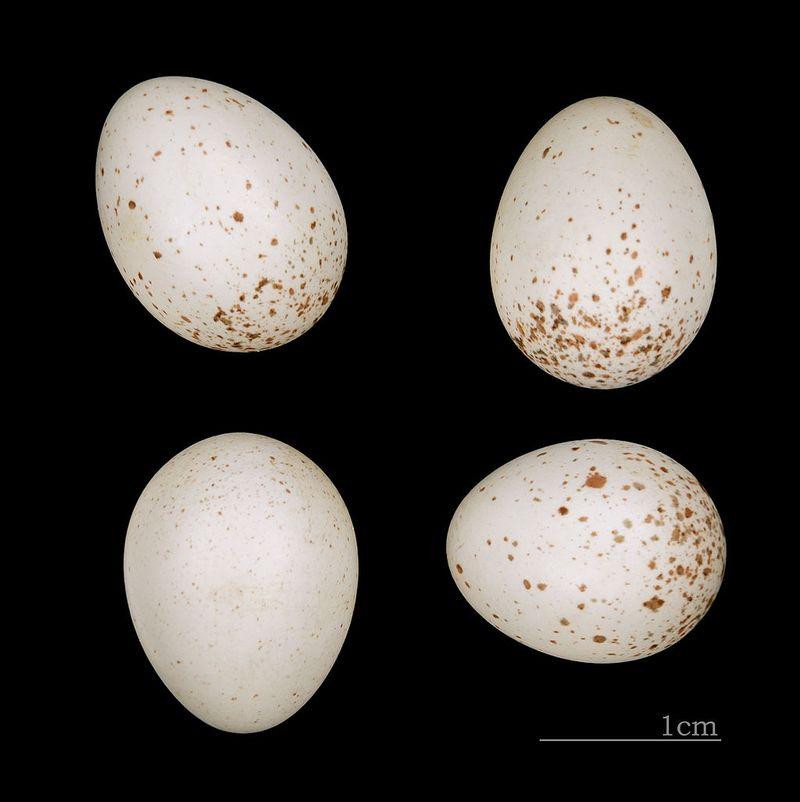 Крапивник, или подкоренник, орешек, задерихвост (лат. Troglodytes troglodytes).