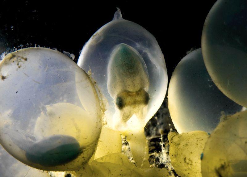 Каракатицы оказались способны обучаться еще в яйце