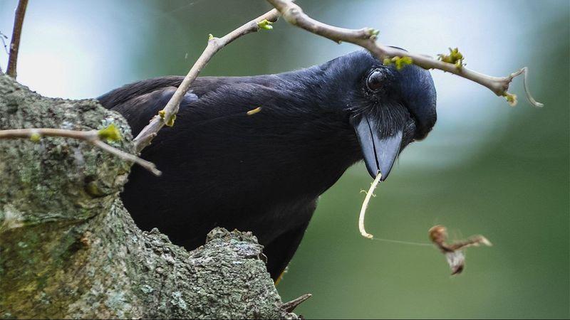Новокаледонские вороны могут определять вес объекта по тому, как он движется