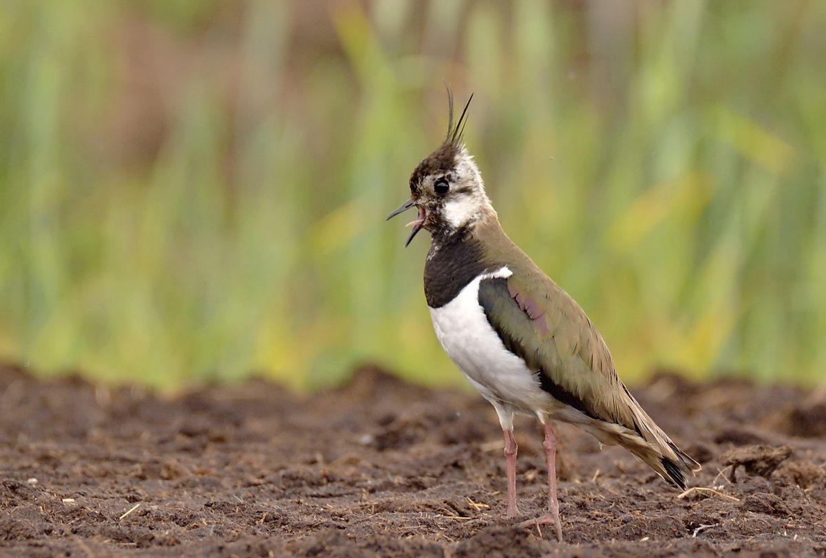 Чибис, или пигалица (лат. Vanellus vanellus)