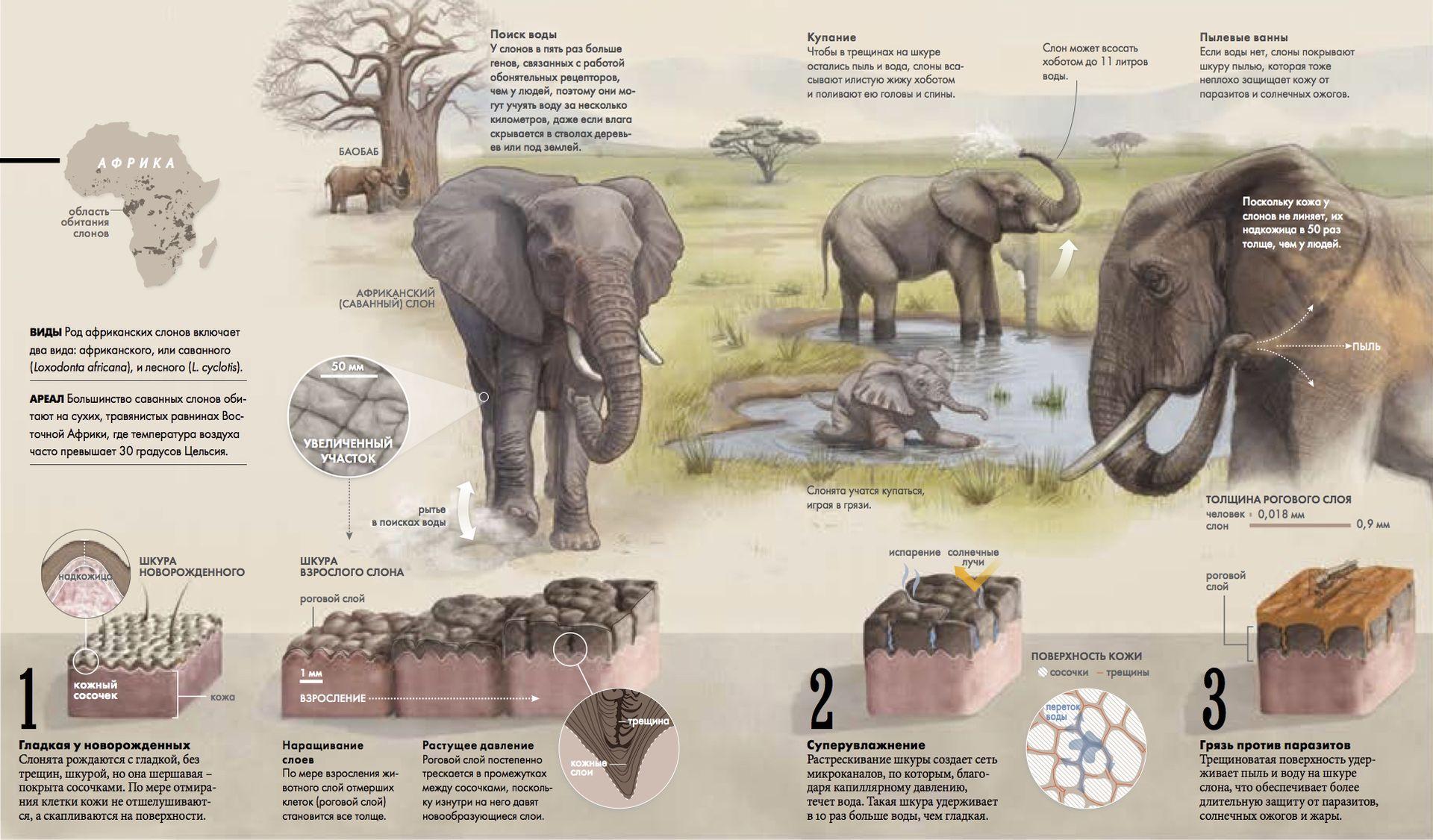 Секреты слоновьей кожи