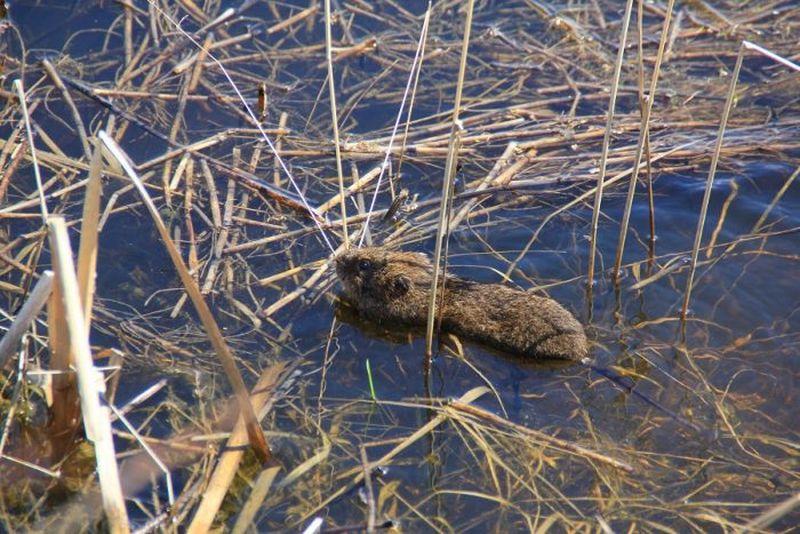 Водяная полёвка, или (европейская) водяная крыса (лат. Arvicola amphibius)