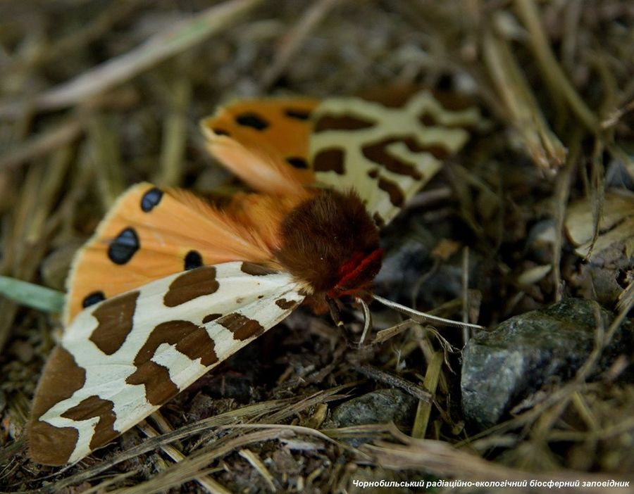 ночная бабочка Медведица-кайя (лат. Arctia caja)