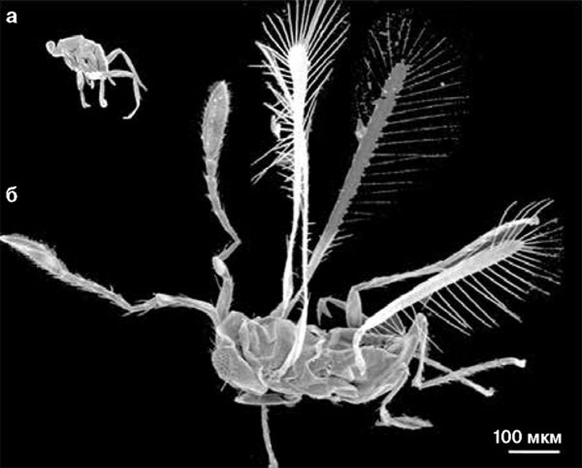 Dicopomorpha echmepterygis - cамое маленькое насекомое в мире