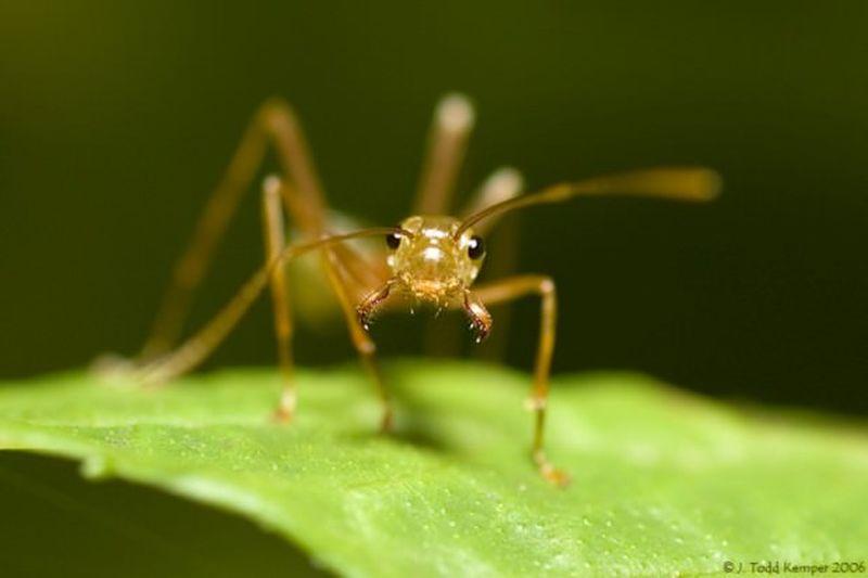 Муравьи-портные, или муравьи-ткачи, или экофилла (лат. Oecophylla)