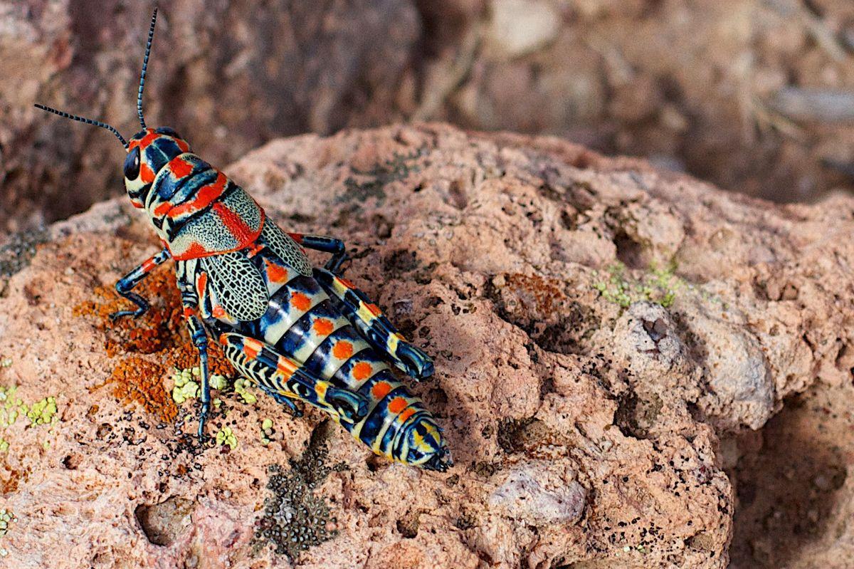 Радужная саранча, или кобылка (Dactylotum bicolor)