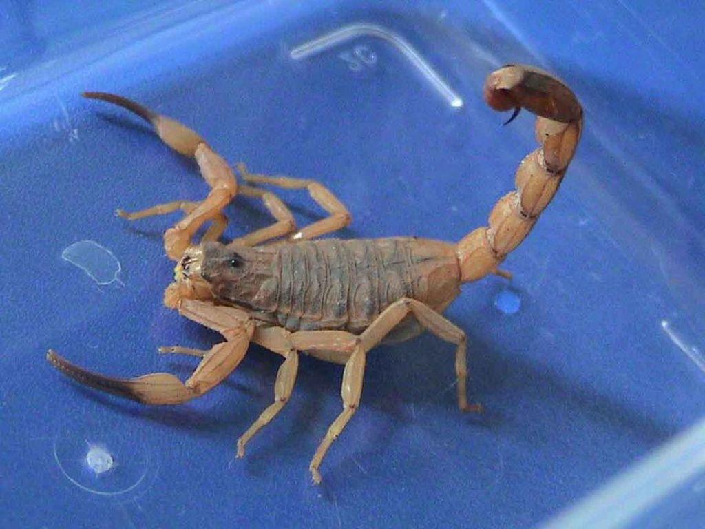 10 самых опасных в мире скорпионов