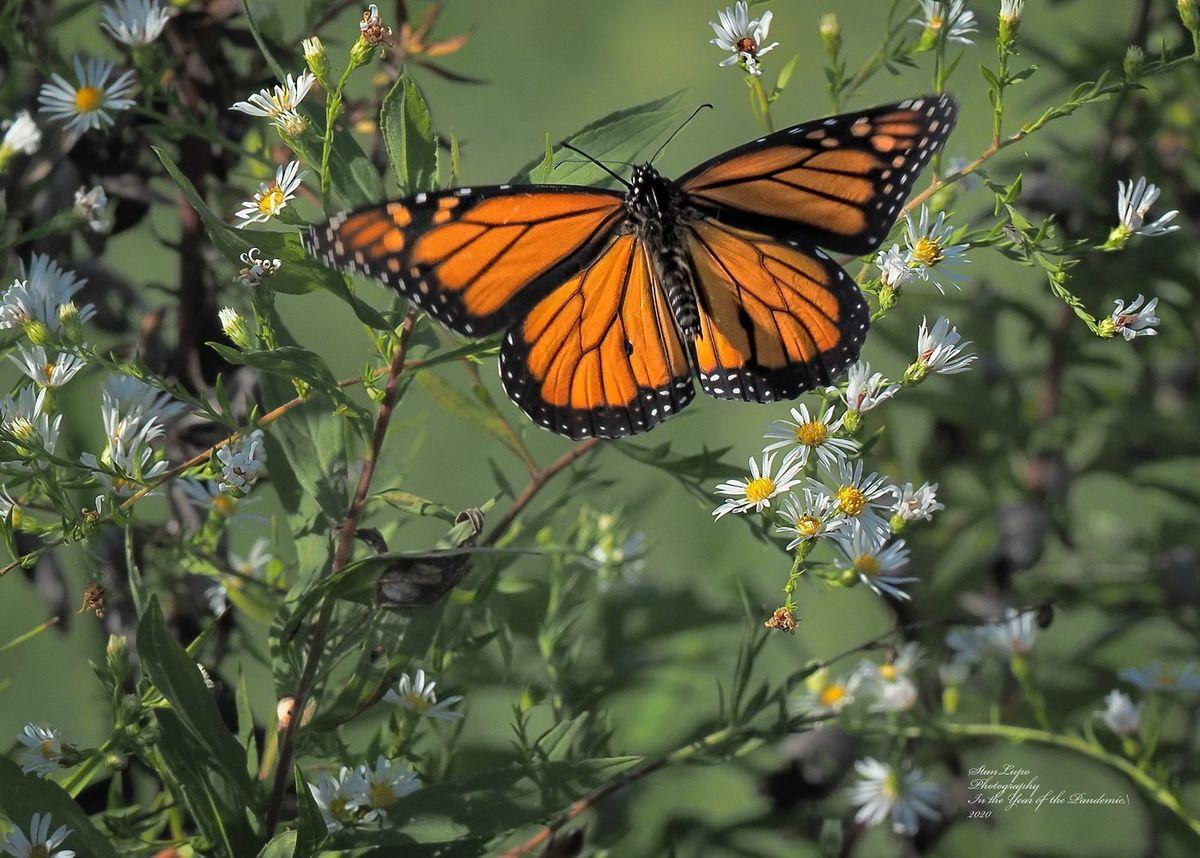 Бабочка данаиды монарха