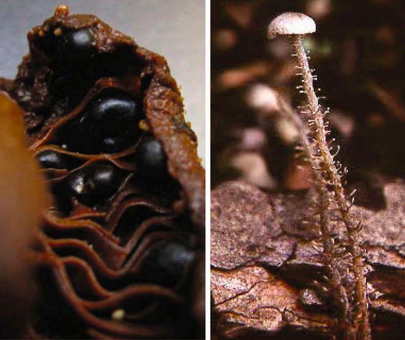 дендроколлибия гроздевидная (Dendrocollybia racemosa).