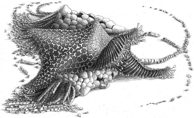 Репродукция Cantabrigiaster fezouataensis / ©Madmeg