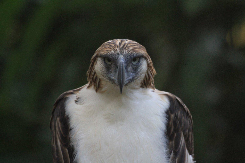 Филиппинский орёл, или орёл-обезьяноед (лат. Pithecophaga jefferyi)
