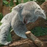 Зачем коалы обнимают деревья?