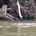 Выдры, обитающие в бразильском природном парке, дали урок молодым ягуарам